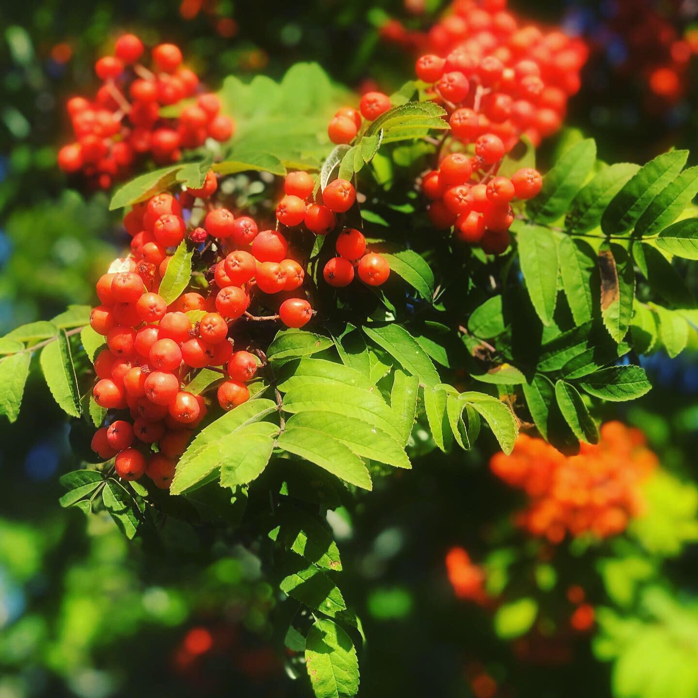 Rönnbärssgelé recept